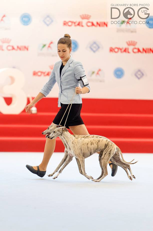 whippet world dog show