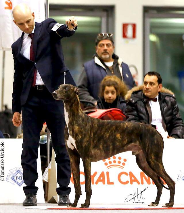 greyhound kollaps melibeous