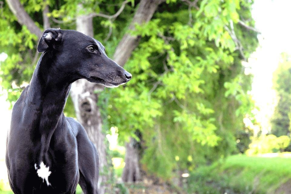 greyhound cuccioli
