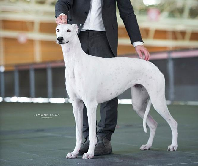 Kollaps Greyhound