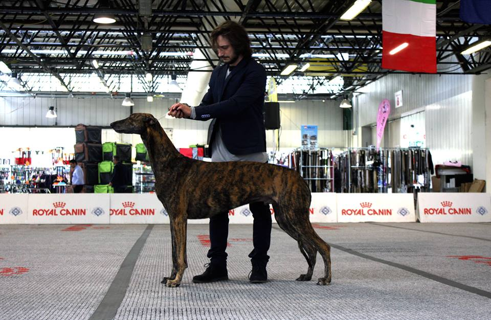 Greyhound Lu at approve ad honores