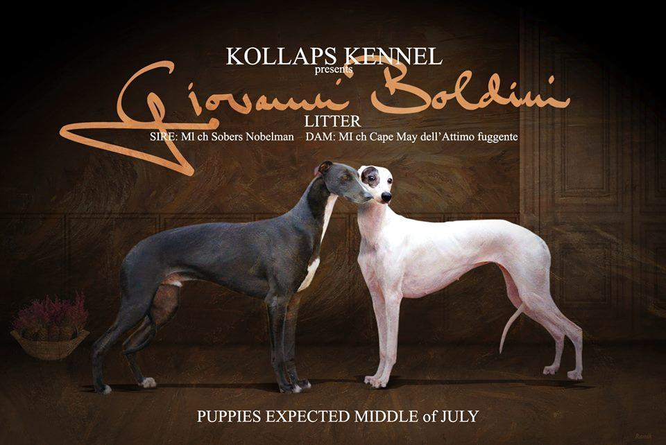 greyhound kollaps puppies